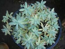 SEDUM STARFLOWERS(10x NON-ESTABLISHED 7cm CUTTING SPECIMEN PER LOT)