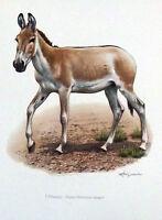 Impression Affiche papier Histoire Naturelle l'Onagre , Equus hemionus onager
