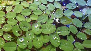 20 x LARGE Salvinia Minima  - floating plant for Aquarium and pond