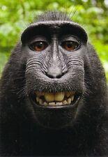 Ansichtskarte: lustiger Affe - ein Schopfmakake zeigt sein schönes Gebiss