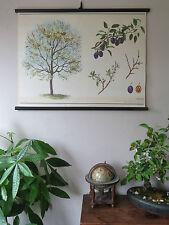 VINTAGE botanica scuola Pull Down grafico di un albero PRUGNA carta su tela cz11