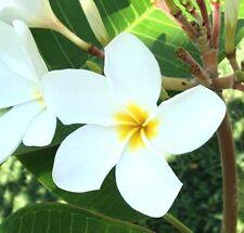PLUMERIA Frangipani, 35 Fresh Seeds White or Pink/mix