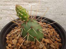 Opuntia fragilis X polyacantha en 9 cm Olla, precioso, sano Cactus