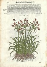Stampa antica ERBARIO MATTIOLI MATTHIOLI PAPIRO botanica 1568 Antique print