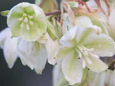 New 2016 seeds Cold Hardy Zone 6B Yucca filamentosa Non-Gmo