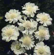 Schmetterlingsblume White Papillon, zauberhafte und robuste weiße Scabiose