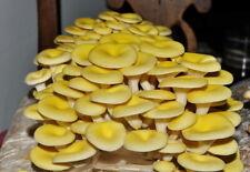 90gr/3.5(oz.) YELLOW OYSTER mushroom-spores-mycelium-on-dried-seeds