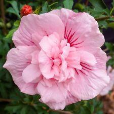 pianta in vaso 9cm Hibiscus SYRIACUS Cina Chiffon-Rose Malva