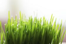 WHEATGRASS 250+ seeds *Organic* SPROUTS or CATS grass seeds Boondie Seeds garden