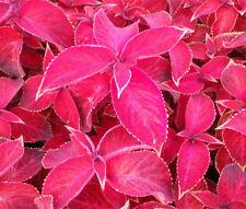 COLEUS JAZZ RUBY Solenostemon Scutellarioides - 40 Bulk Seeds