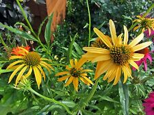 Echinacea Seeds - MANGO MEADOWBRITE - Coneflower - MEDICINAL BENEFITS - 15 Seeds
