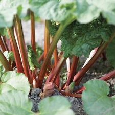 Rhubarb Champagne Pot Grown Plant