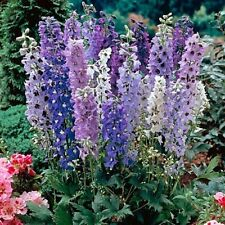 PERENNIAL FLOWER DELPHINIUM DWARF MAGIC FOUNTAIN SERIES MIXED 60 SEEDS