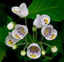 RARE 4 graines de Jovellana Ponctué(Jovellana Punctata) H229 TEACUP FLOWER SEEDS