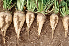 1 gram 100+ seeds non-Gmo white Sugar Beet Beta vulgaris- Grow your own sugar