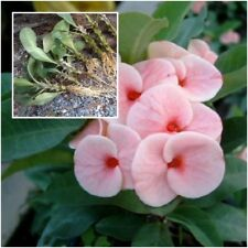 Euphorbia milii 1 Rooted Plant Crown of Thorns ''Ruaimaiyut'' From Thailand