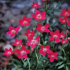 Anemone multifida 'Rubra' or 'Annabella Deep Pink' / Windflower / 30 Seeds