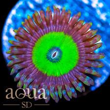 New listing Asd - 071 Apple Candy Zoanthids - Wysiwyg - Aqua Sd Live Coral Frag