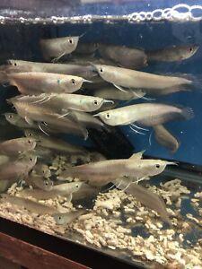 Sliver Arowana 4 Inch  Live Fish Eat Pellets