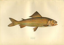 Beautiful HAND-COLOURED print of the fish  GRAYLING  by Joanthon Couch
