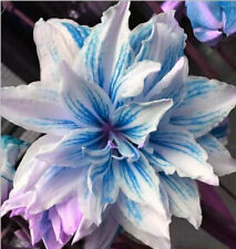 Double Amaryllis Bulbs Hardy Perennial Hippeastrum Plants Flower Blue Gift Bloom