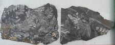 Lot of 2 Neuropteris Fern Fossils  ST. CLAIR PA, EDUCATIONAL plants 13.1 oz