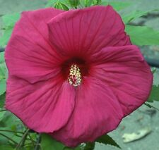 """SULTRY KISS Hardy Hibiscus -- Plant in 4.5"""" pot"""