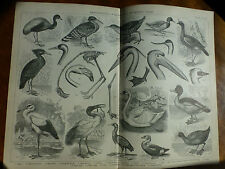 1874 Incisione Ornitologia-Guado & Nuoto Birds Crane helias Avocet Heron