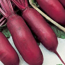 250 CYLINDRA BEET Beta Vulgaris Seeds +Gift & Comb S/H
