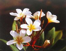 HAWAIIAN WHITE PLUMERIA PLANT CUTTING ~ GROW HAWAII