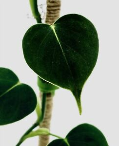 Very Rare Philodendron LUPINUM CORRUGATED VELVET LEAF Aroid Houseplant ONE LEAF