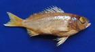 Fish Taxidermy Snapper Lutjanus bengalensis, Lutjanus bohar