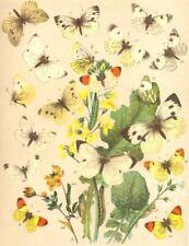 BUTTERFLIES. Pieridae; White; Green-veined; Dark Alpine; silver-streaked 1903