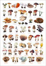 Fungi Toadstools Identification Chart Wildlife Poster