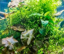 Cardamine Lyrata (Chinese Ivy) 1/2 Cup (Buy 2 Get 1 Free) - Live Aquarium Plant