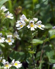 Garten Pflanzen Samen winterhart Ziergras Zierpflanze Saatgut Kräuter AUGENTROST