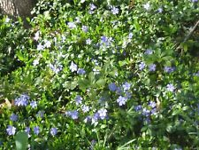 15+ Creeping Myrtle Periwinkle Blue Vinca Minor Plants Ground Cover Flower Vine