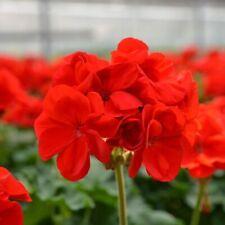 1X Geranium Scarlet Red PLANT (20cm) NOT PLUGS Organic Bio UK EU Upright