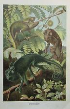 1900 CHAMÄLEON alter Druck antique print Litho Brehms Tierleben