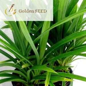 50 Seeds Pandan Wangi Pandanus Amaryllifolius Fragrant Spices Grass Home Garden