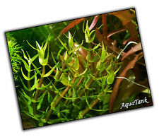 Gratiola viscidula-LIVE acquatiche acquario acquario piante SUPER RARA