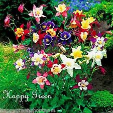 COLUMBINE - Mrs Scott Elliott mix - 250 Seeds  - Aquilegia c. - Perennial Flower