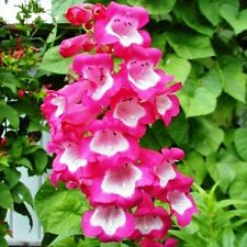 PENSTEMON Sensation Mix Seeds (F 63)