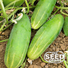 Poinsett 76 Cucumber Seeds - 50 SEEDS SAME DAY SHIPPING