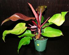 """RARE Gorgeous Philodendron Hybrid 'McColley's Finale' EXACT PLANT 6"""" Pot 57"""