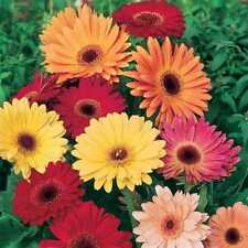 10x géant Gerbera Daisy African TRANSVALL Barberton Mix Graines #365 Autres Graines, bulbes