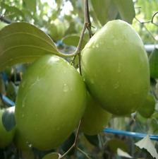 Green Jujube Fruit Plants Tree Seeds Fruit Home Garden Fruits Plant Seed 5 Pcs