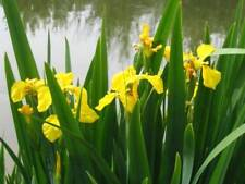3 Iris pseudacorus Yellow Flag water plant Wild Native Flower Bo Bat Pond Plant