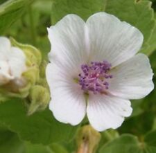 ALTHAEA OFFICINALIS TRUE MARSHMALLOW medicinal plant in 100mm pot