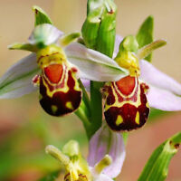 NEW 50pcs Rare Seeds Flower Smile Face Bee Orchid Flower Seeds Home Garden Decor